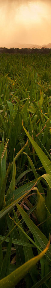 bg-maize-strategy