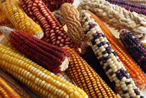 maize-diversity
