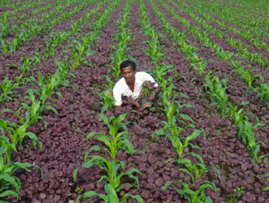 intercropping-bangladesh