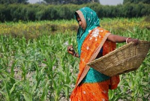 Farmer weeding maize in Bihar, India (Credit: M. DeFreese/CIMMYT)