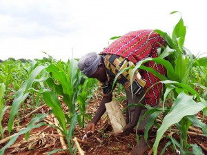 Kenyan woman fertilizing maize