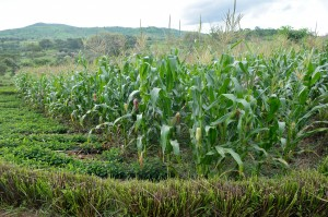 Farmer's field under conservation agriculture in Malawi