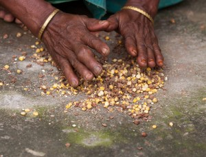 Preparing food with maize and chickpeas in Bangladesh