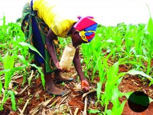Farmer applying fertilizer2