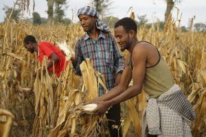 Farmers Nuri Bekele, Tefera Tamirat & Melaka Bekele harvest maize, Baranga village, Hawassa Zuria district, Ethiopia. Photo: CIMMYT/P. Lowe.