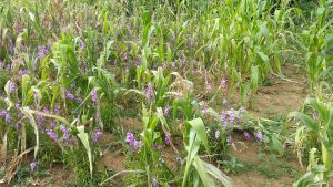 Striga flowered. Photo: J. Njeru/CIMMYT