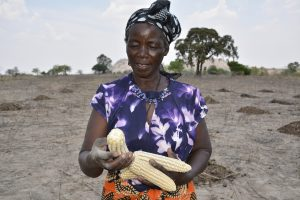 Appolonia Marutsvaka shows off her drought-tolerant, heat stress maize cobs. Photo: Johnson Siamachira/CIMMYT.