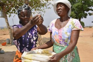 Apolonia demosntrates the amount of maize she was able to harvest with new drought tolerant varieties. MAIZE and CIMMYT are committed to researching, supporting and getting drought and heat tolerant maize into the hands of smallholder farmers in Zimbabwe.