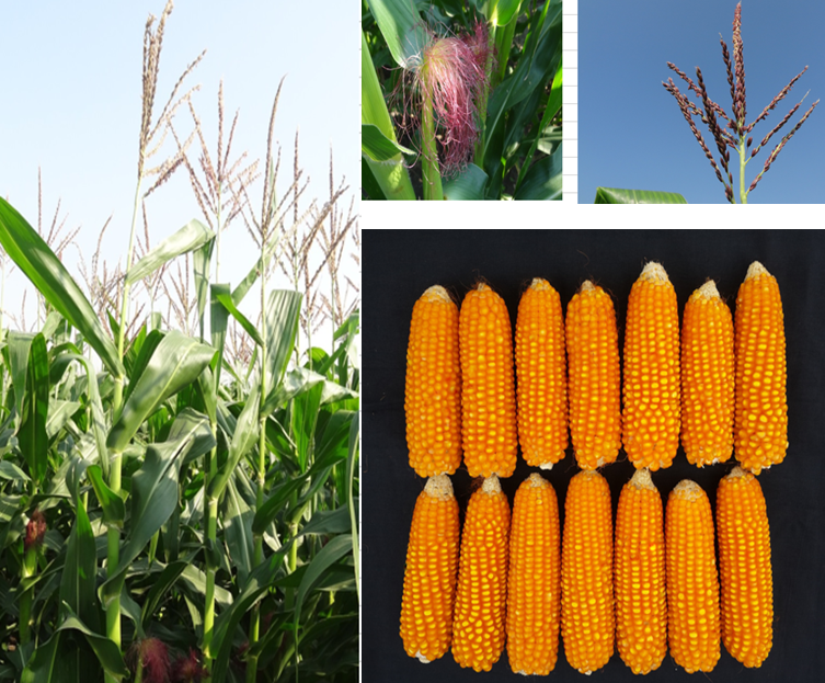 26 new cimmyt maize lines released cgiar research program on maize